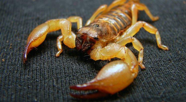 Picada do escorpião pode ser perigosa