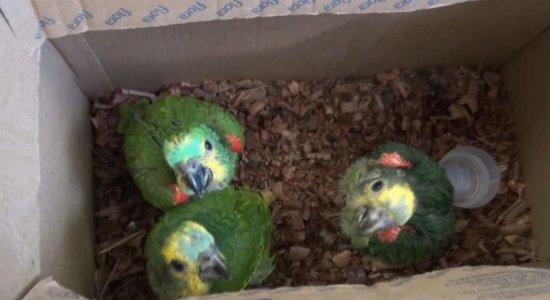 Agricultor é detido vendendo papagaios sem autorização no Recife