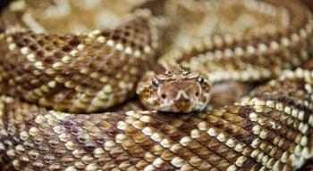 A cascavel é uma das serpentes venenosas mais comuns em Pernambuco