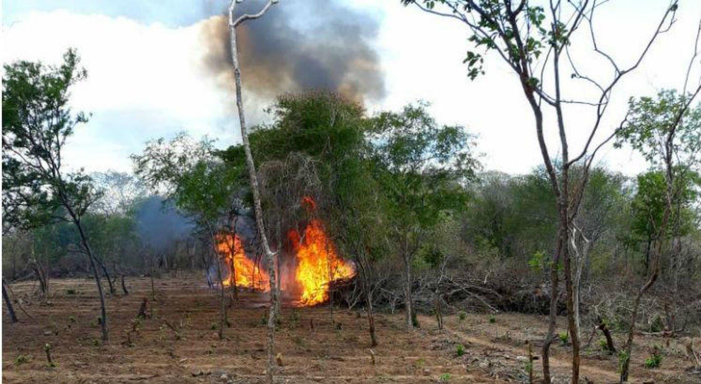 PM incinera mais de dois mil pés de maconha em Custódia