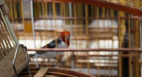 Ibama apreende aves silvestres em feira livre de Caruaru