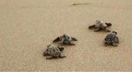 Multidão acompanha nascimento de tartarugas marinhas em Boa Viagem
