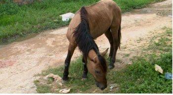 O cavalo está há quatro dias precisando de ajuda