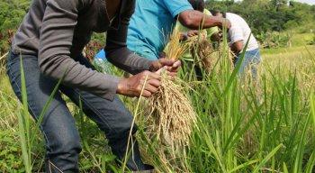 O governo federal divulgou nota para informar sobre a abertura do mercado mexicano para a compra de arroz brasileiro