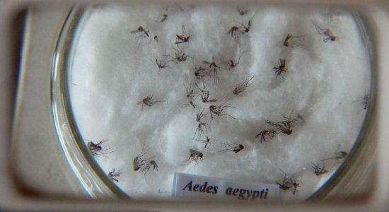Extrato de açafrão mata larvas do Aedes, segundo pesquisa