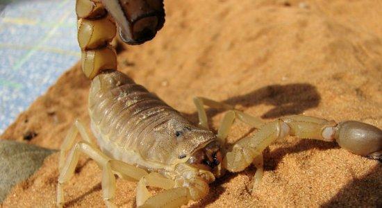 Pernambuco registra aumento de 10% nos casos de intoxicação e envenenamento por escorpião;