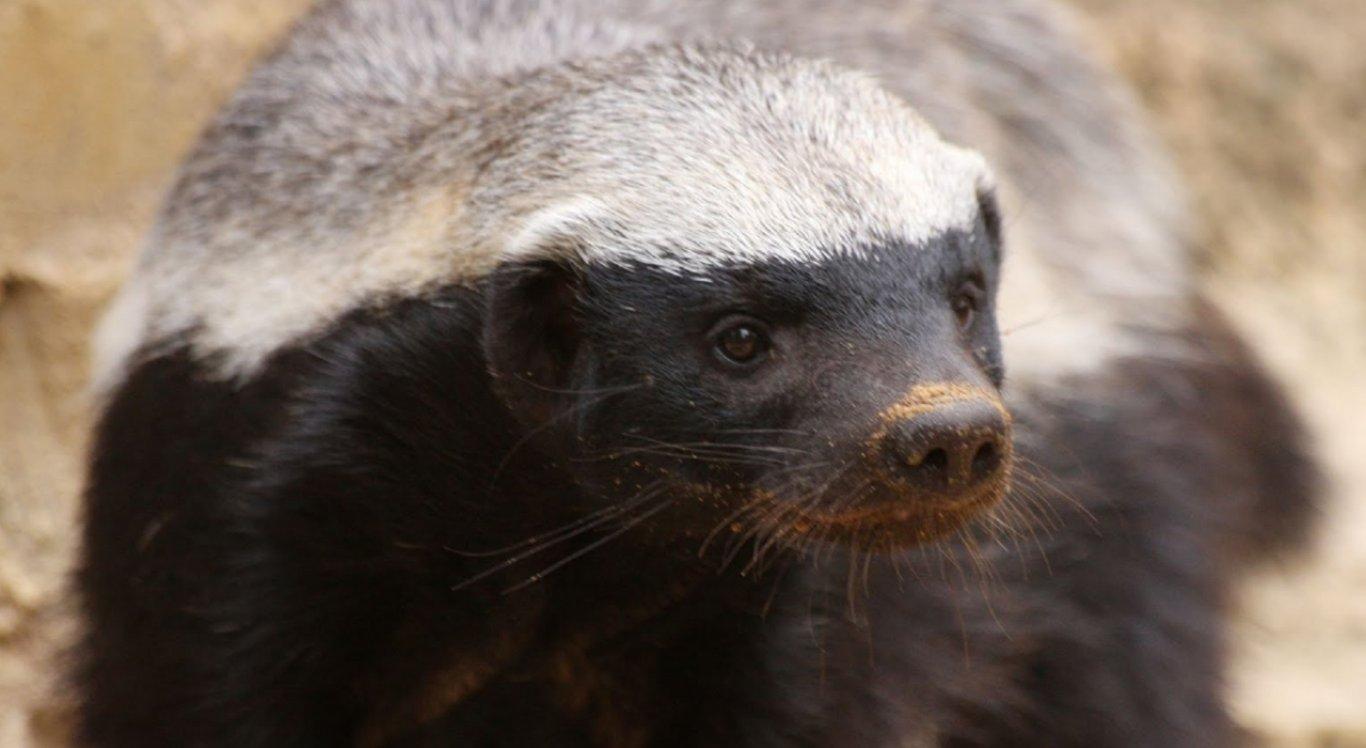 O animal é conhecido como um dos mais destemidos do planeta (Imagem Ilustrativa)