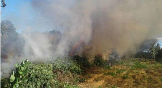 Erradicados 348 mil pés de maconha no Sertão de Pernambuco