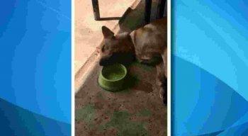 Cãozinho preguiçoso toma água deitado