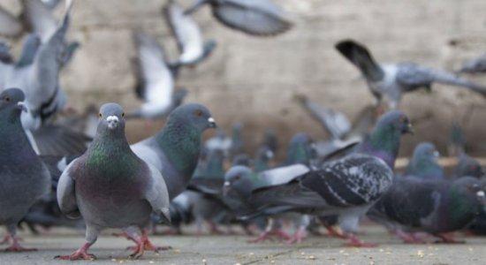 Criptococose: conheça a doença do pombo, sintomas e prevenção