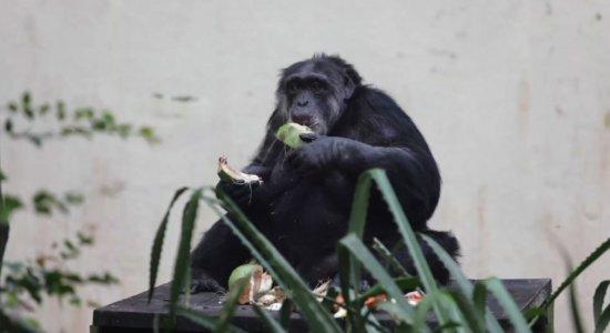 Chimpanzé Sena tem comemoração de aniversário no Parque de Dois Irmãos