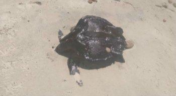 As tartarugas foram encontradas na praia de Cocaia, no Cabo de Santo Agostinho.
