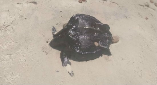 Tartarugas são encontradas mortas no Cabo de Santo Agostinho