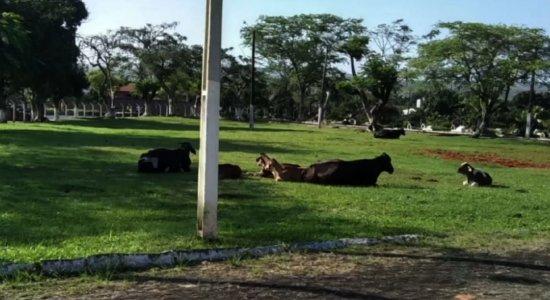 Vídeo: vários bois dormem dentro de cemitério