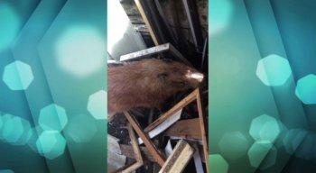 O animal caiu do telhado do galpão do estabelecimento e assustou moradores da região