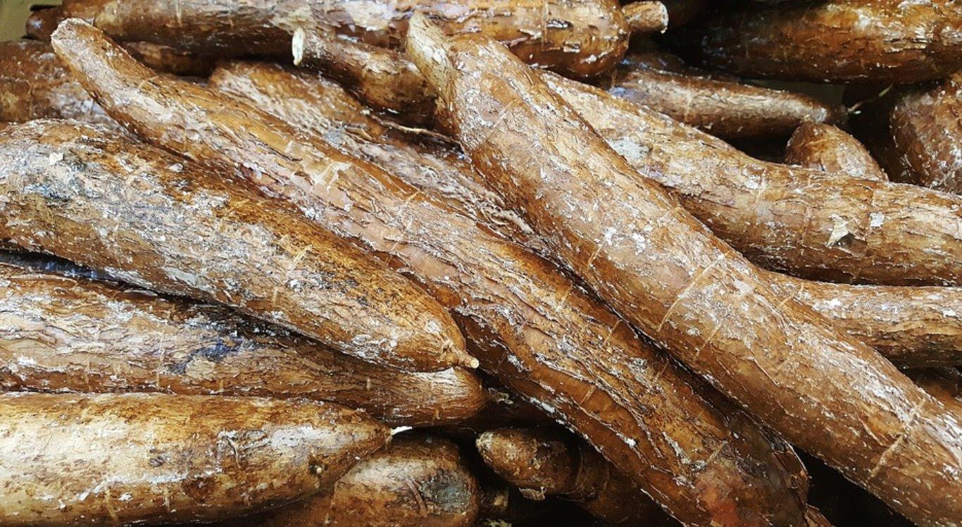 Festa da Farinha fortalece cadeia produtiva da mandioca