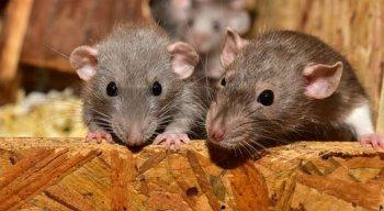 Segundo o médico, os ratos que ficam dentro de casa também tem risco de transmissão, a urina dos ratos, é que faz o contato entre os humanos e as doenças