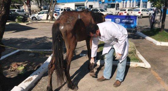 Prefeitura de Jaboatão realiza ação para tratar cavalos abandonados