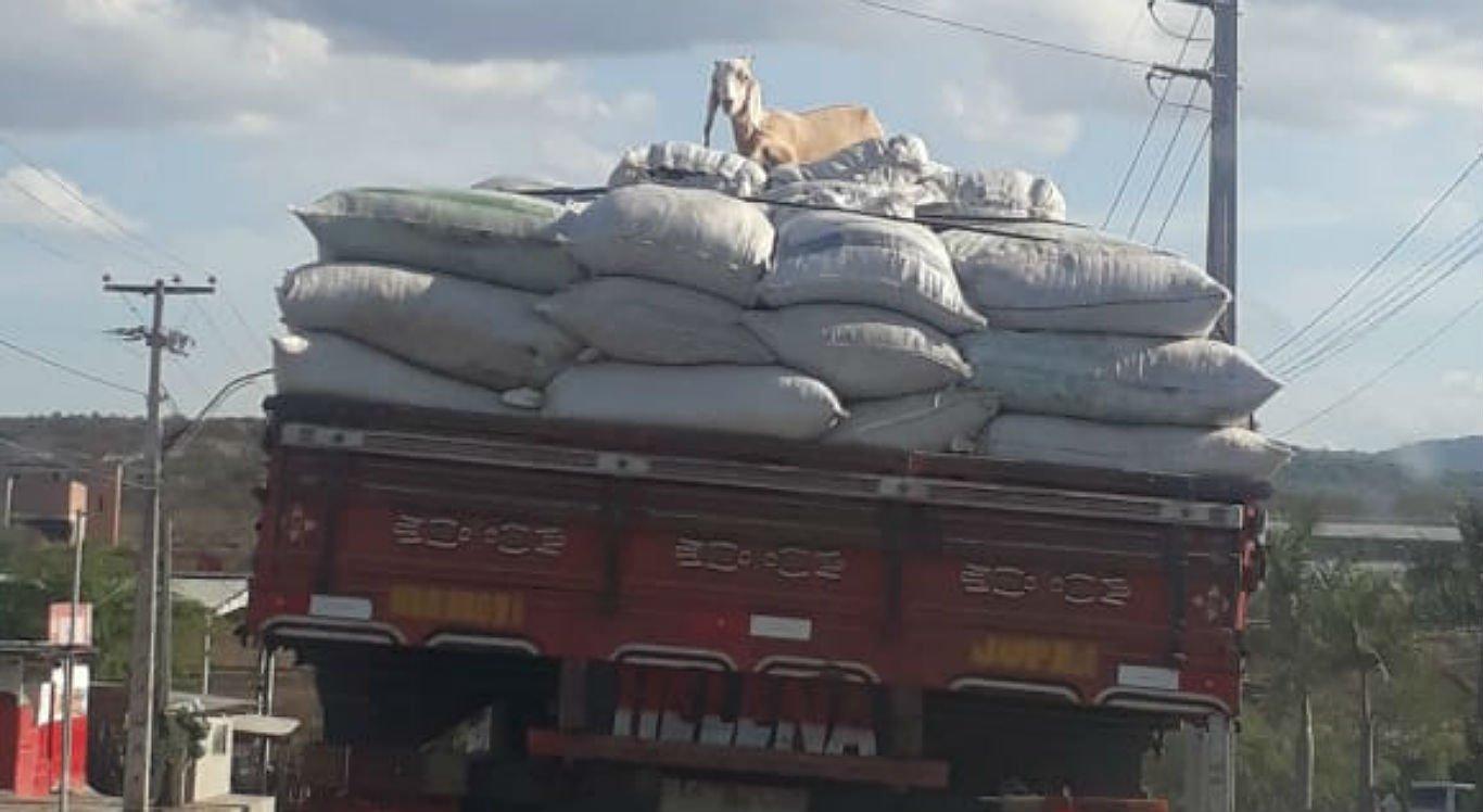 Caprinos estavam em cima da carga do caminhão