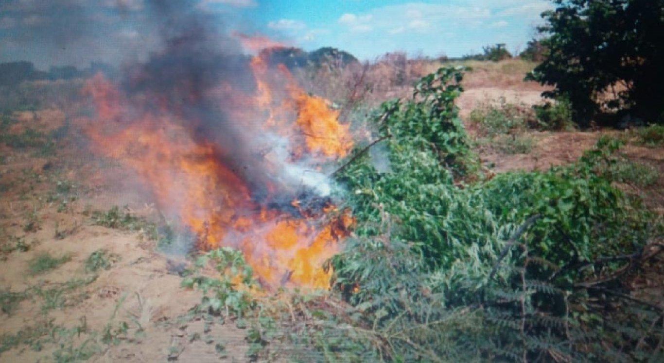 Plantio de maconha é destruído no Sertão