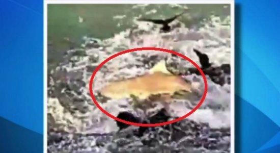 Vídeo: tubarão sobe em pedras e caça sardinhas em Fernando de Noronha