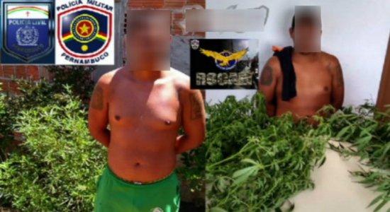 Polícia prende suspeito de plantar maconha e dizer que seria para ''enfeites de natal''