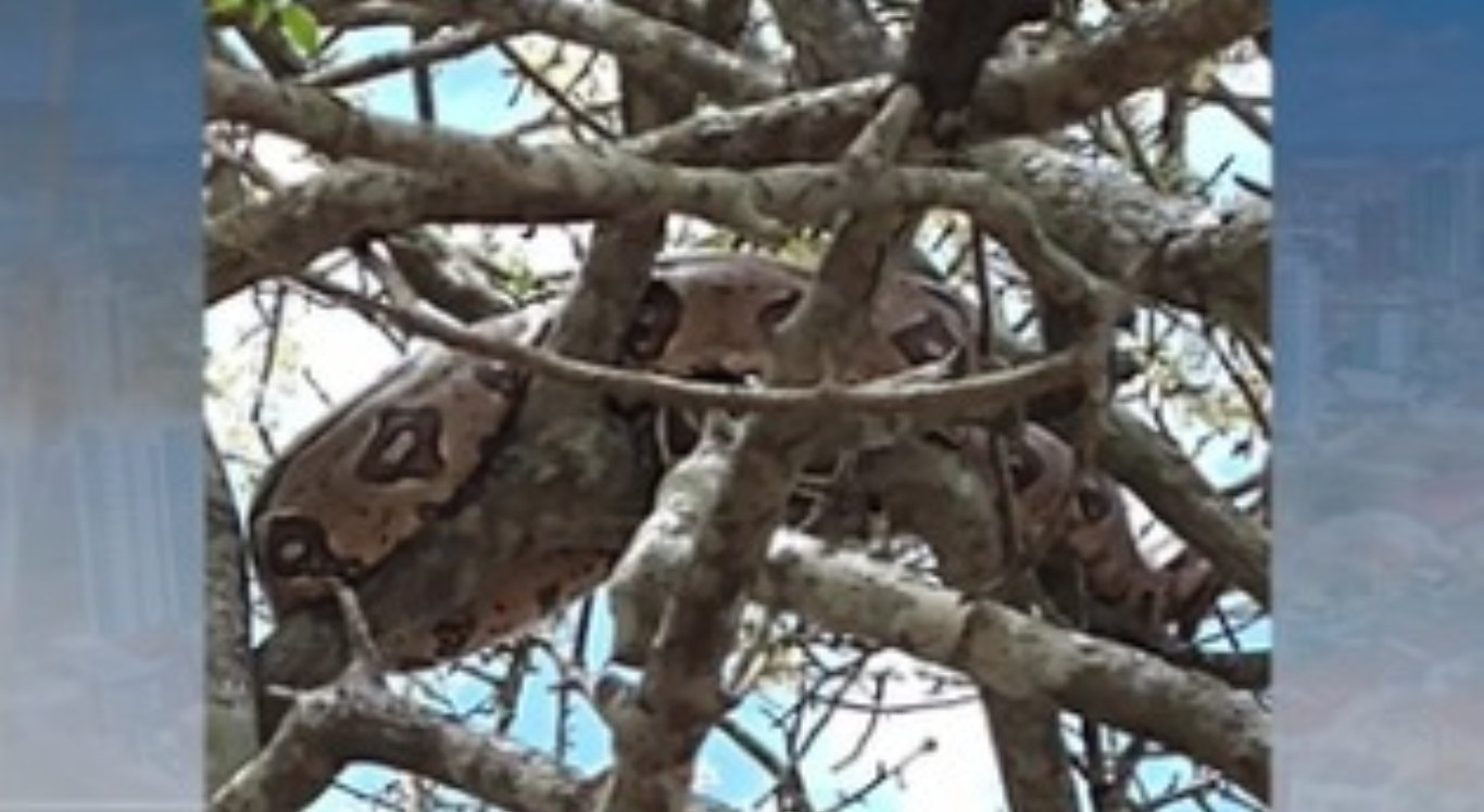 Cobra foi encontrada em cima de uma árvore