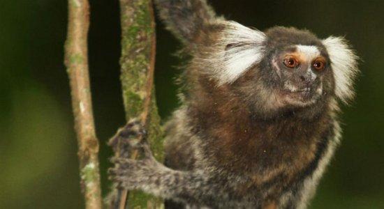 Secretaria de Saúde de PE investiga pelo menos 14 mortes de saguis em Aldeia