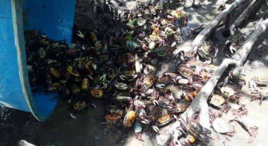 Captura de caranguejo-uçá é proibida a partir deste sábado (11)