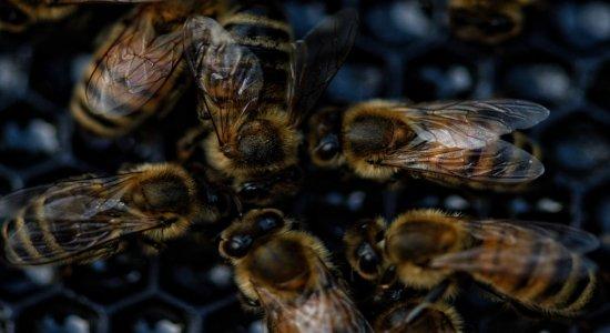 Homem morre após ataque de abelhas no Sertão