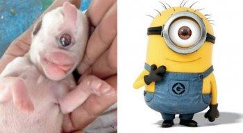 O pequeno também não tem o focinho, e tem um lábio diferenciado, bem mais rosado do que o dos outros cachorrinhos