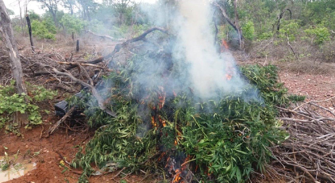 Polícia destrói 10.240 pés de maconha no Sertão Pernambucano