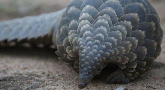Cientistas chineses suspeitam que pangolim, animal em extinção, é transmissor do coronavírus