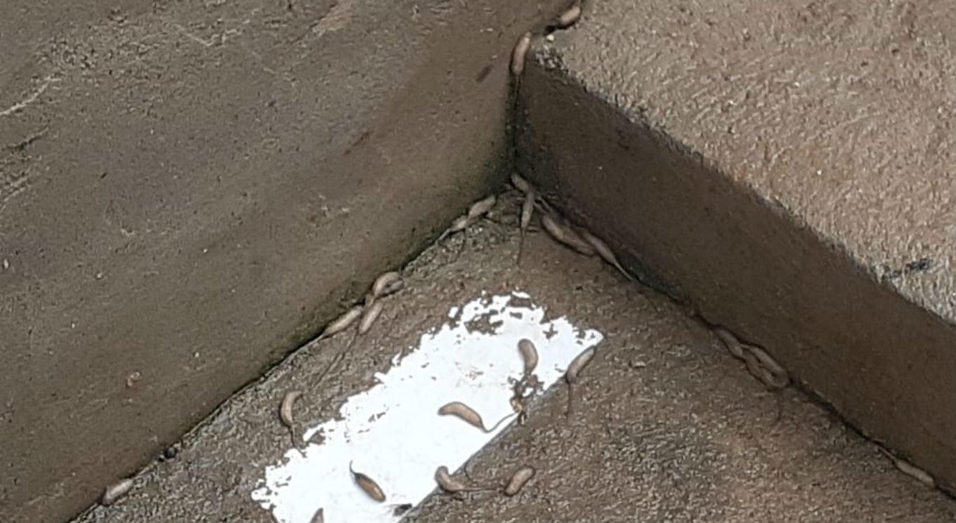 Larvas estão invadindo as casas dos moradores de Izacolândia, em Petrolina