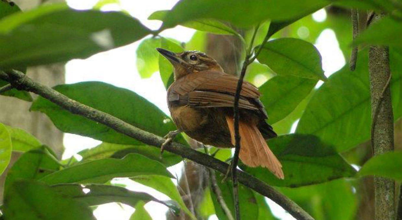 O limpa-folha-do-nordeste (Philydor novaesi) é um dos pássaros em situação mais alarmante de ameaça de extinção