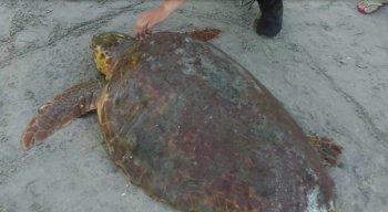 A tartaruga marinha foi resgatada por policiais e banhista na praia de Maria Farinha, em Paulista