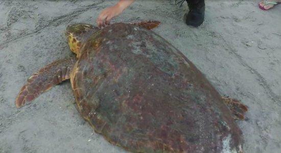 Tartaruga marinha é resgatada na praia de Maria Farinha, em Paulista