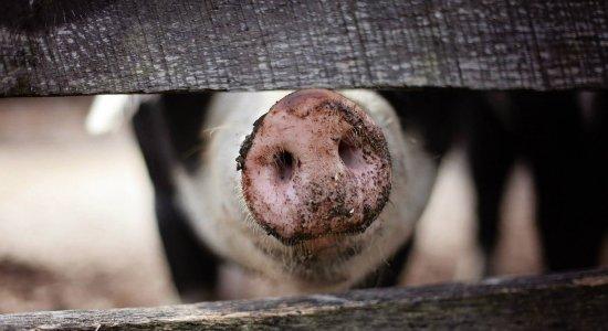 Mulher é hospitalizada após ser atacada por porco no Sertão de Pernambuco