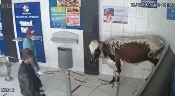 Boi apareceu em casa lotérica de Poção, no Agreste de Pernambuco