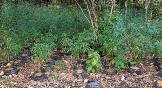 Operação erradica 5.800 pés de maconha e acha outros 550 kg da droga no Sertão de Pernambuco