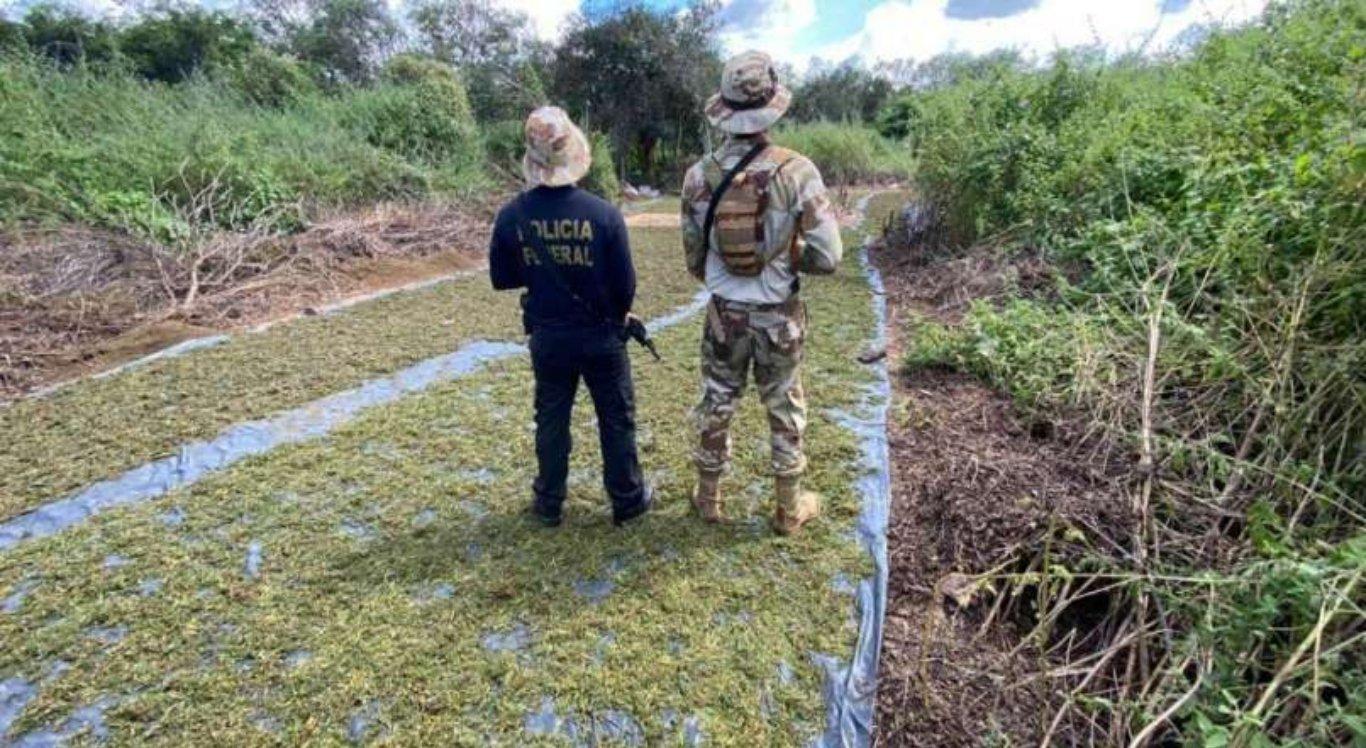 Polícia erradica 5,8 mil pés de maconha no Sertão de Pernambuco