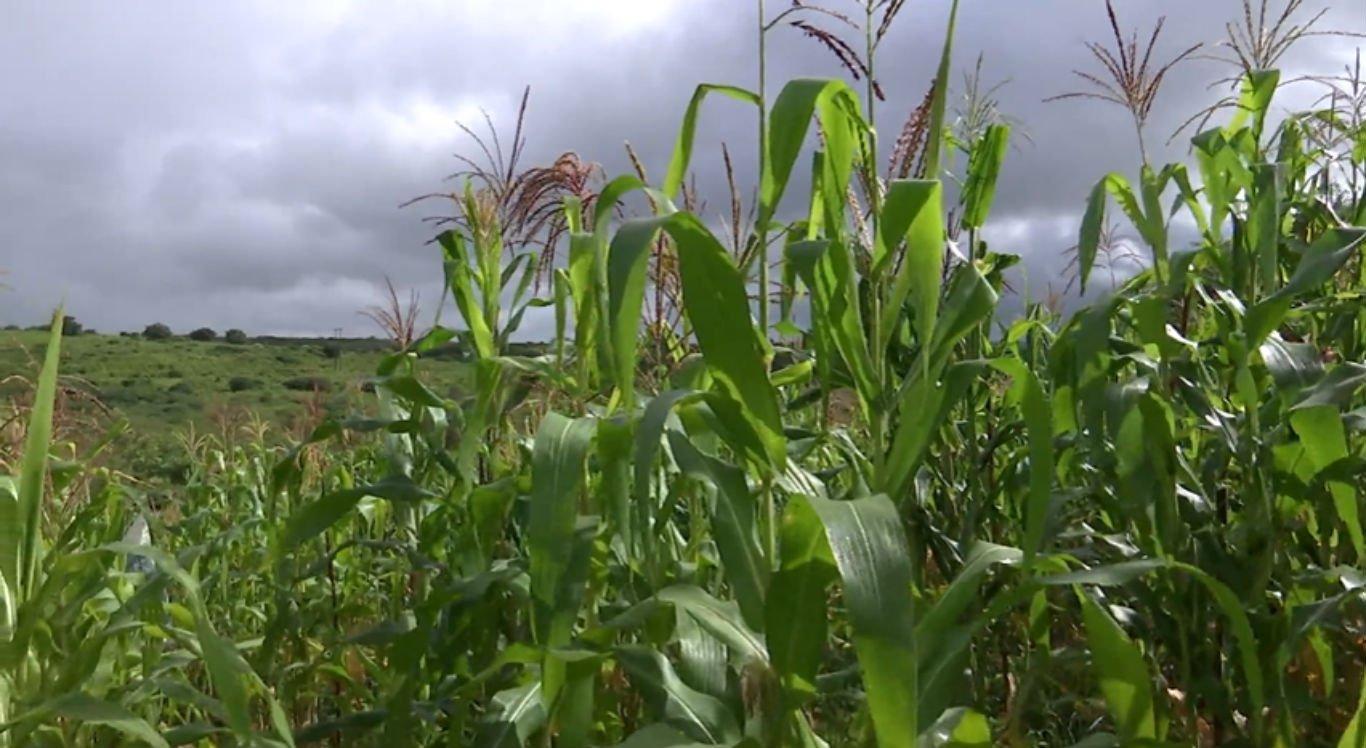 Plantação de milho no 3º Distrito Rural de Caruaru