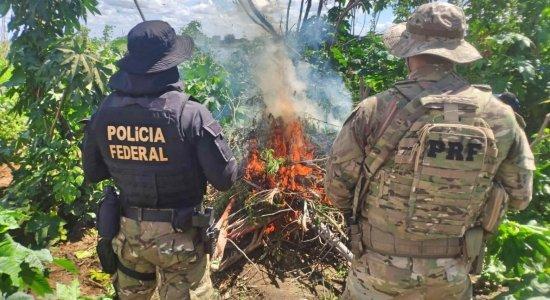 Polícia erradica 538 mil pés de maconha no Sertão