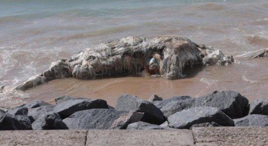Baleia em estado de decomposição é encontrada por banhistas em Boa Viagem