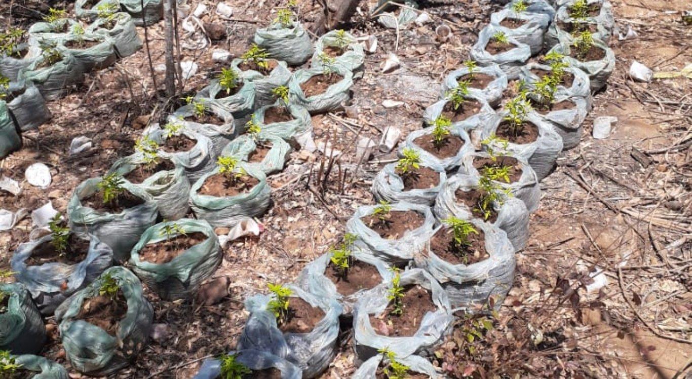 Plantio de maconha foi erradicado no Sertão de Pernambuco