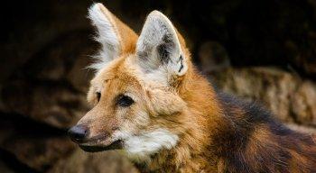 Imagem do lobo-guará estará na nota de R$ 200