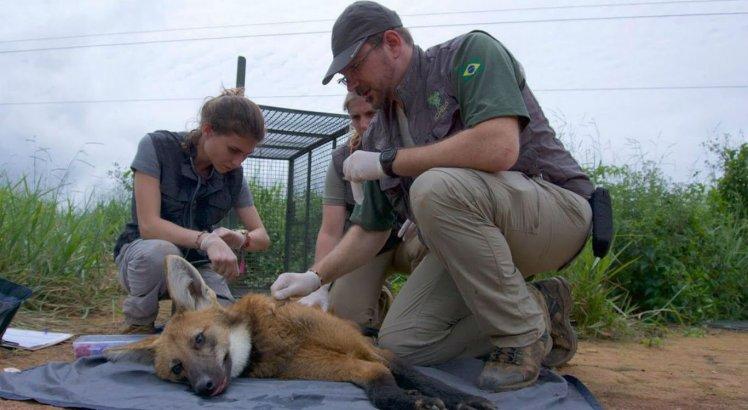 Exame sendo realizado em um lobo-guará