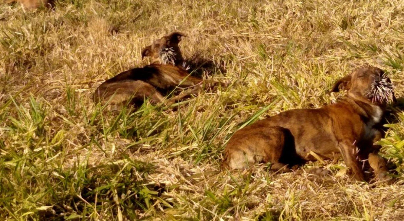 Cachorros são encontrados feridos com espinhos de ouriço
