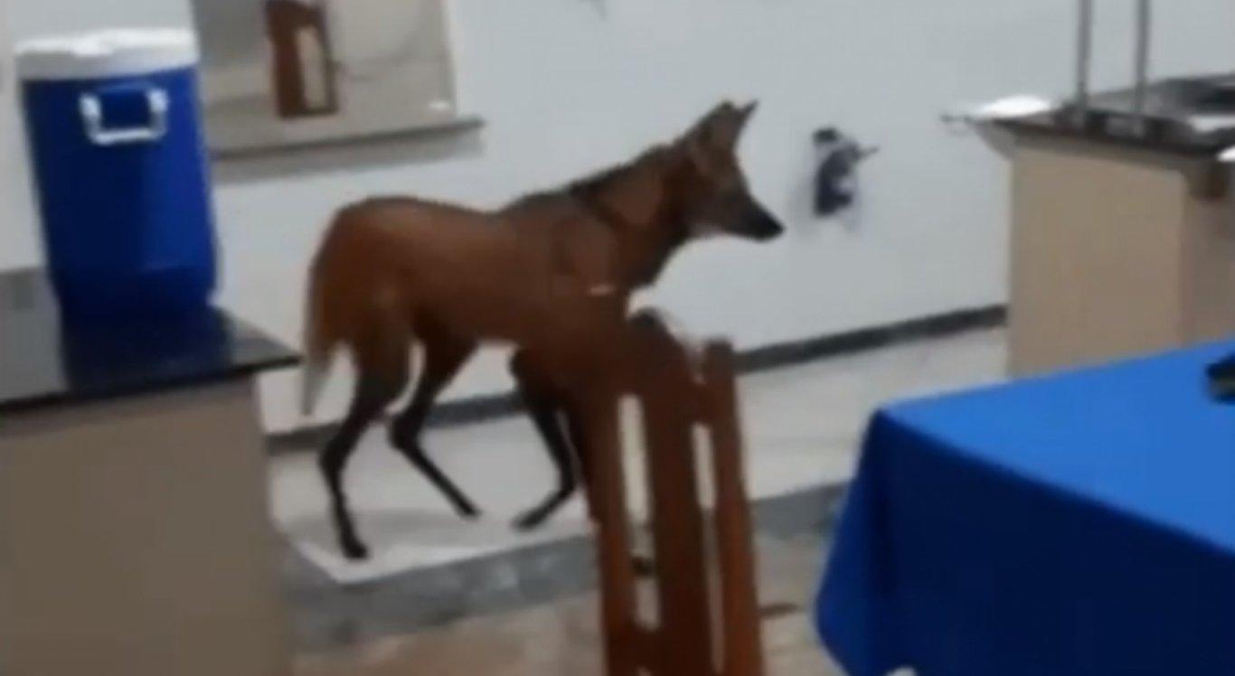 Lobo-guará passeia em refeitório do Exército em Goiás
