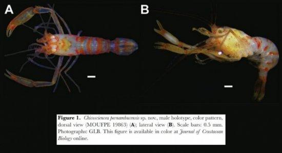 Com nome em homenagem a Chico Science, nova espécie de camarão é identificada em Pernambuco